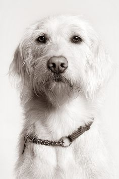 Love my labradoodle. Pet Dogs, Dogs And Puppies, Dog Cat, Go Dog Go, Dog Expressions, Dog Nose, Cute Dog Pictures, Gifs, Gif Animé