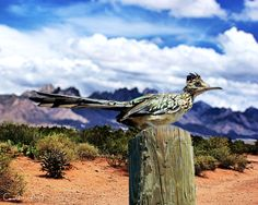 The Roadrunner! The State bird of New Mexico! I've seen one or two in my yard in Santa Fe.