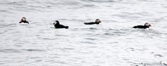 Puffins at Petit Manan Light on a foggy day » Focusing on Wildlife