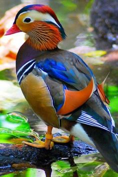MANDARIN DUCK   spectacularly coloured by nature's magic