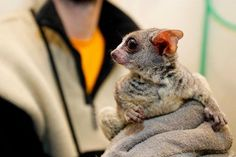 Three Senegal Bush Babies (also known as Galagos) were born at the Prague Zoo in the Czech Republic on October 5th. On wednesday, zoo veterinarians gave the three their first medical check up. The babies are from two different litters, despite having been born all on the same day.