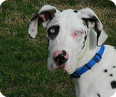 Westampton, NJ - Great Dane. Meet Dillon D-62146, a puppy for adoption. http://www.adoptapet.com/pet/11899349-westampton-new-jersey-great-dane