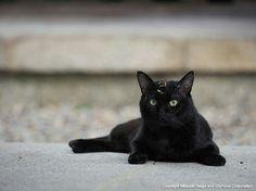 Beautiful black cat(September/Photographer : Mitsuaki Iwago)