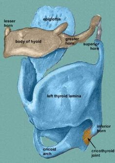 The Larynx: Structure and Function from a Singer's perspective - Singwise #singingtips