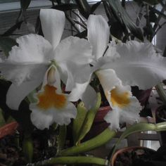 Cataleya Orchid