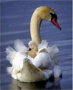 Gorgeous beautiful swan photo of birds. Pretty Birds, Love Birds, Beautiful Birds, Animals Beautiful, Beautiful Swan, Bird Pictures, Animal Pictures, Cute Baby Animals, Animals And Pets