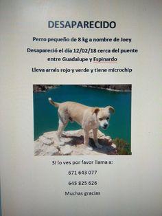 Animales Perdidos y encontrados. Murcia: JOEY, PERRO PEQUEÑO DESAPARECIDO EL 12/02/18, ENTR...
