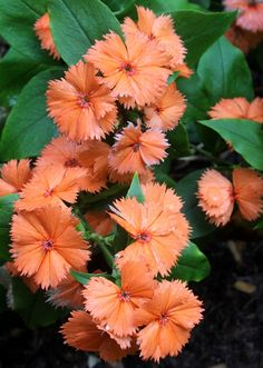 """Lychnis coronata 'Orange Sherbet' makes a tidy 1' tall x 1' wide mound of light green foliage topped, starting in late May, with 1"""" or wider light orange flowers that continue through most of the summer. This is a truly superb deer-resistant specimen for a part sun spot in the garden...very tolerant of a variety of soil types."""