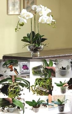 But before you panic, calm down and read this article about Phalaenopsis Orchid Care. I love love love orchids! I've always like orchids but Orchid Plant Care, Phalaenopsis Orchid Care, Orchid Plants, Orchids Garden, Garden Plants, Indoor Plants, Balcony Gardening, Small Garden Uk, Jardiniere Design
