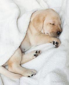 'Sleeping Golden labrador puppy' iPad Case/Skin by HaleyRedshaw - Hundebabys Cute Dogs Breeds, Cute Dogs And Puppies, Baby Dogs, Dog Breeds, Doggies, Golden Labrador Puppies, Black Labrador Retriever, Labrador Retrievers, White Labrador Puppy