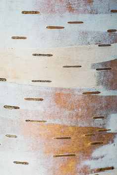 Birch Bark by Janet Little Jeffers Patterns In Nature, Textures Patterns, Found Art, Abstract Nature, Birch Bark, White Texture, Tree Bark, Natural Forms, Silk Painting