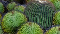 A giant barrel cactus and yucca plants in the Chihuahuan Desert, Mexico (© Patricio Robles Gil/Minden Pictures) – 2017-01-29 [http://www.bing.com/search?q=echinocactus+platyacanthus&form=hpcapt&filters=HpDate:%2220170129_0800%22]