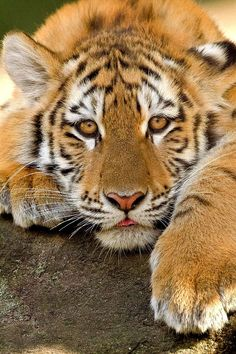 Relax ~ Siberian Tiger Cub by Maxime Riendeau~~ by earlene Big Cats, Cats And Kittens, Cute Cats, Siamese Cats, Animals And Pets, Baby Animals, Cute Animals, Wild Animals, Beautiful Cats