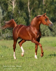 Beautiful chestnut Arabian horse.