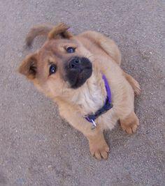Popular Korea Chubby Adorable Dog - bb4059a2193be676b3e006415da7ecbe--save-animals-korean-jindo  Trends_522035  .jpg