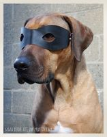 Make a bandit costume for your dog to wear on Halloween! Measure your dog and cut a piece of soft vinyl paper or fabric into the shape of a mask and cut out the eye holes to be large enough that they Diy Dog Costumes, Dog Halloween Costumes, Diy Halloween, Costume Ideas, Bandits Costume, Dog Mask, Rhodesian Ridgeback, Dog Agility, Dog Dresses