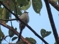 エナガ. long-tailed tit on a cherry tree. 31 July 2016.