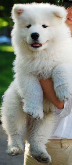 3 months #Samoyed looks a little like my Vanya