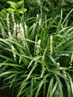 Liriope muscari 'Monroe White' vs the purple version. Good evergreen front of plants for structure?