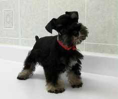 Toy and Teacup Schnauzers from Schnauzer Tiny Treasures Teacup Schnauzer, Miniature Schnauzer Black, Mini Schnauzer Puppies, Teacup Puppies, Schnauzers, Dogs 101, Tiny Treasures, Small Breed, Tea Cups
