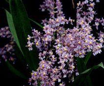 Orchideeen-shop.nl - Oncidium ornithorhynchum
