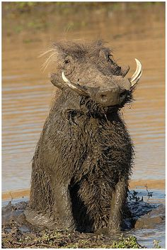 Africa | Male warthog that has been rolling in the mud.  Tawny Eagle Pan. Sabi Sands Game Reserve.  South Africa | ©Marius Coetzee