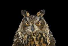Studio portraits of owls – in pictures