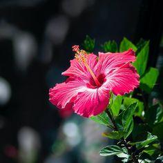 El hibisco es una planta popular que decora muchos jardines, terrazas o balcones. No solo es una planta exhuberante y de flores muy bellas, sino que es muy amigable con las abejas y otros insectos polinizadores. Además es una planta medicinal.Variedades de hibiscosDependiendo de la especie, el hibisco es anual o perenne y resistente al frío o no. Entre las variedades de hibisco, las que tienen flores simples han demostrado ser más prolíficas en floración y resistentes que las que tienen la… Simple Flowers, Hibiscus, Bees, Gardens, Plants