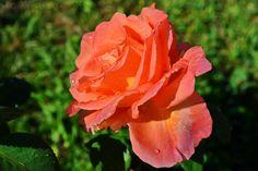Apă de trandafiri – Bucătăria Familiei Mele