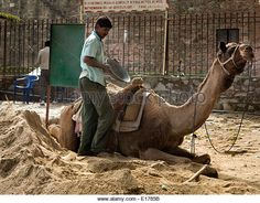 India, Rajasthan, Rajsamand, Kumbhalgarh village, man loading camel panniers with sand - Stock Image