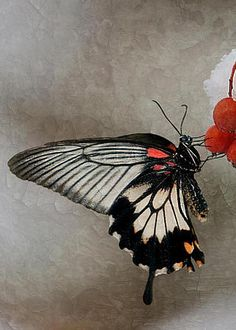 Papilio polytes by Robin Webster