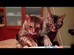 Two Cats Play The Piano