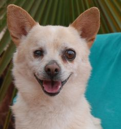 Buzz is eager to share his joy with you. Adopt him and he will lift your spirits everyday with his grace. Buzz is a blond Chihuahua, 6 years of age and neutered, good with other dogs, and debuting for adoption today at Nevada SPCA (www.nevadaspca.org). He is blind in his right eye from an old injury. We rescued Buzz from another shelter that needed our help.