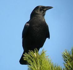 American Crow, Identification, All About Birds - Cornell Lab of Ornithology