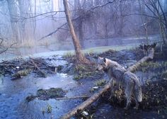 """""""Chernobyl and Other Places Where Animals Thrive Without People"""" """"Some disaster zones end up as accidental nature reserves: places where animals survive because humans aren't allowed in.""""  Picture of European gray wolf on Ukranian side of Chernobyl exclusion zone"""