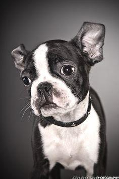 Dog Breed Comparison: Boston Terrier vs. French Bulldog