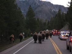Buffalo traffic jams! Watch out for wildlife when driving thru Yellowstone