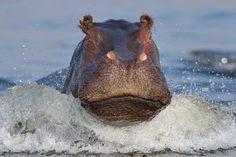 NATURE - HIPPY HIPPO