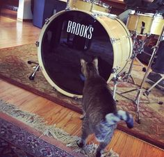 The newest member of the Nell & Jim Band? Jim Kerwin's Kiki checks out the cozy inside of Jon Arkin's kick drum! #kickdrumkitty #drummerslife #pacifica