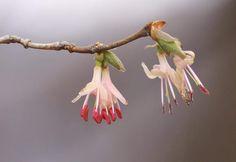 올괴불나무 Wild Flowers, Garden, Garten, Wildflowers, Lawn And Garden, Gardens, Gardening, Outdoor, Yard