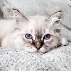 Reposting @aufeminin_com: La bouille de #Narciso, le #chaton de @valoumodeuze résume bien notre avis sur le #lundi  ________________  @valoumodeuze #aufemininloves #rg #regram #love #happy #smile #liveauthentic #cat #cats #catsofinstagram #catslovers #catsofworld #catstagram #catlover #catsagram #instacats #sacredebirmanie #birmancat #babynarciso #kitten #kitty