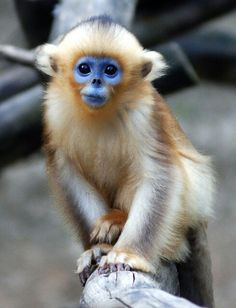 The newest, cutest baby animals from the world's accredited zoos and aquariums. Cute baby animal pictures and videos by date, species, and institution. Primates, Mammals, Cute Creatures, Beautiful Creatures, Animals Beautiful, Rare Animals, Animals And Pets, Funny Animals, Motifs Animal