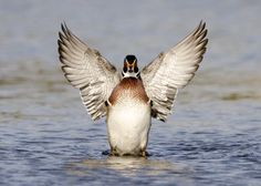 Symmetry of the Wood Duck