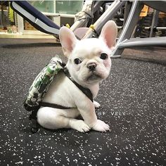 French Bulldog Puppy❤