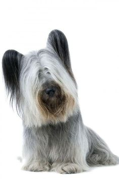 The Skye Terrier is a hunting dog that prefers to explore safe areas. The Skye is well suited to living indoors, enjoying life as a house pet. Skye Terrier, Cairn Terrier, Scottish Terrier, Terrier Dogs, Unusual Animals, Animals Beautiful, Unusual Dog Breeds, Terrier Breeds, Dog List