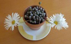My frithia in bloom.