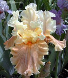 Tall Bearded Iris 'Rare Find'