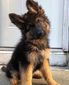 20 Baby German Shepherd For Your Viewing Pleasure