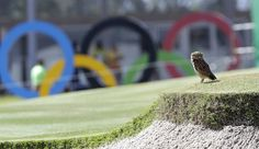 A burrowing owl rests on the ninth hole of the Olympic golf course near its nest in a sand bunker during a practice round for the 2016 Summer Olympics in Rio de Janeiro, Brazil, on August 5, 2016.