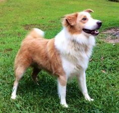 Toffee - registered English Shepherd out of Dunrovin line